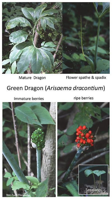 A poster showing the growth phases of a green dragon plant.