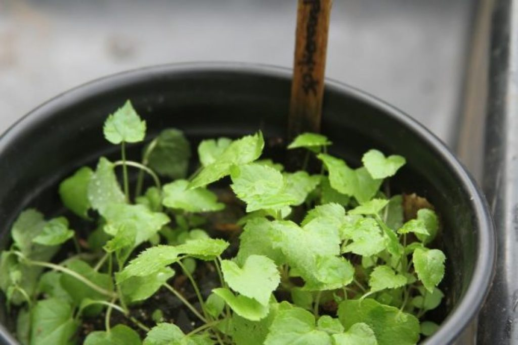 spikenard seedlings 5-8-15