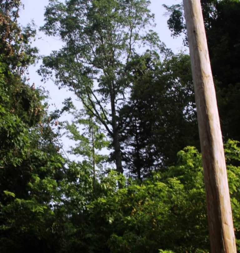 6-26-15 leaning tree update