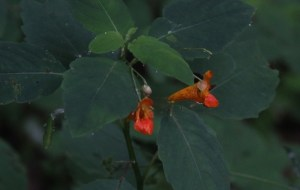 orange-spotted jewelweed