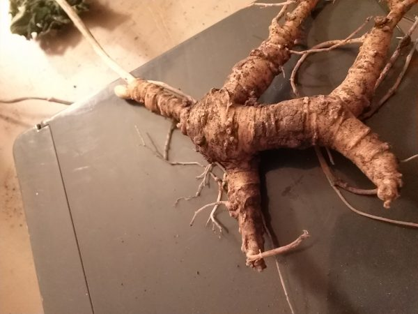 Ohio ginseng roots 2015, looks like a man!