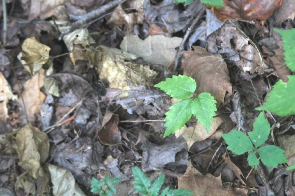 A yearling ginseng. That's a young virginia creeper to the right, trying to photo bomb.