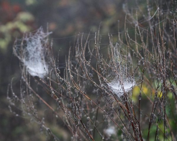 Foggy Morning Perspectives - Dew gathers on the webs, highlighting just how many artistic spiders live in our world.