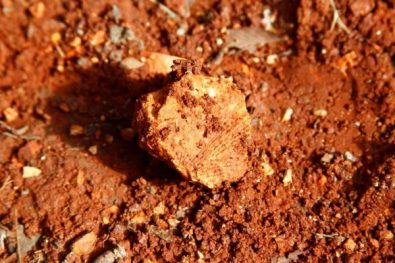 Fossil in the red clay on the driveway