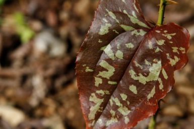 A smilax with leaves that look variegated after a freeze. I don't remember it appearing this way earlier during the year.