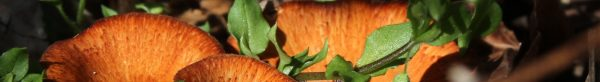 chickweed with orange fungi