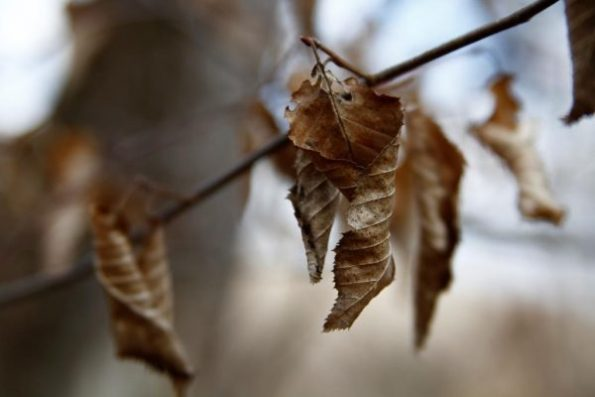 Curled beech leaves.