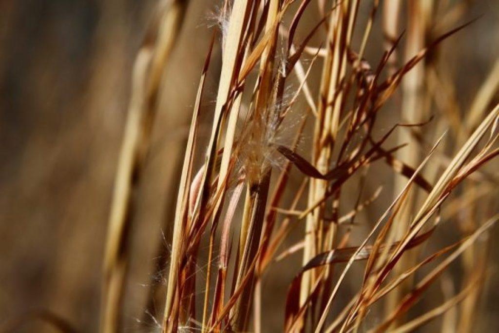 Dried grasses at Wild Ozark
