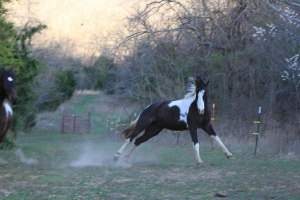 Comanche playing by jumping and twisting while I'm setting the hay bale in place.
