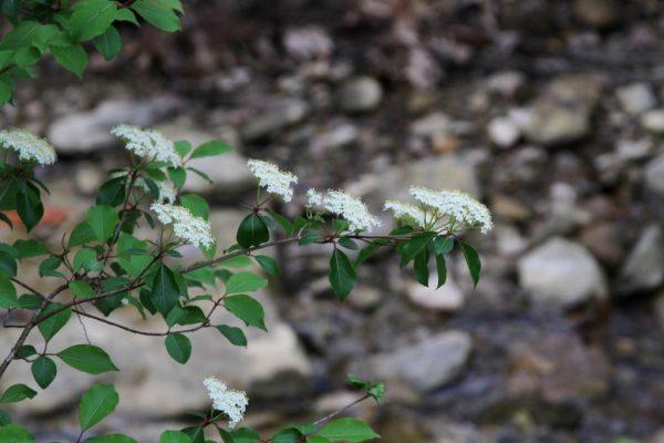 Southern Black Haw in flower.
