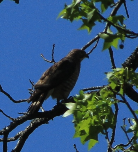 Broad-winged Hawk against a very blue sky.