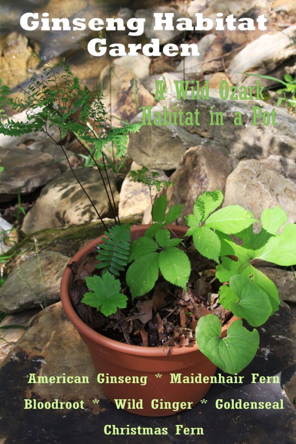 A ginseng habitat in a pot! This one includes a 3-year old American ginseng with a handful of companions for $75.