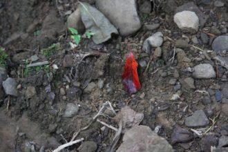 Black gum leaf turning red in July
