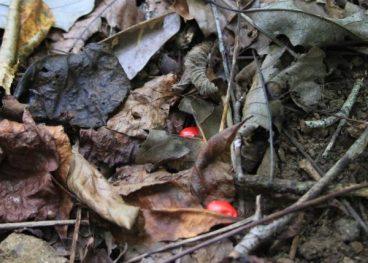 fallen ginseng berries