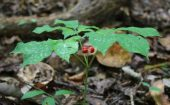 This ginseng growing on a slope drops berries downhill, so it spreads the colony a little farther from the mother plant than it would if she were on more level ground.