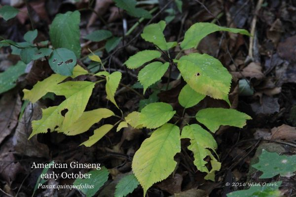"American ginseng in October. This is a wild-simulated plant growing wild in the forest at Wild Ozark. There is no difference between wild and ""wild-simulated"" except that the seed was placed in that spot by me, rather than falling from a mother plant or carried by a bird."