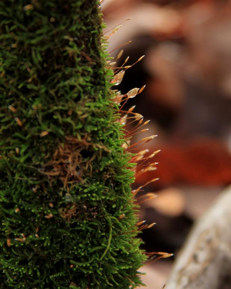 Fruiting bodies on the moss collect the morning's fog droplets