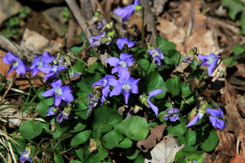 Violets declaring the season.