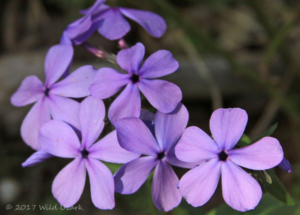 Phlox, not sure which variety or species.