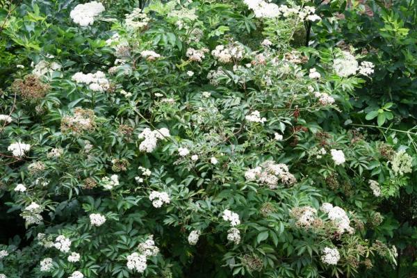 Elderberry at Wild Ozark
