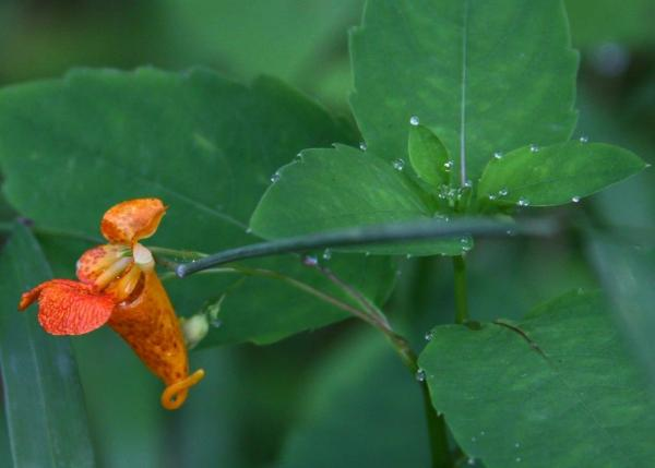 Orange spotted jewelweed.