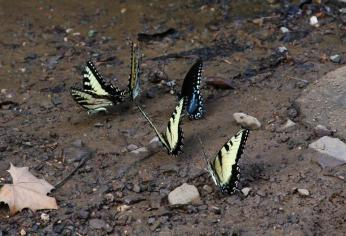 A Herd of Swallowtails