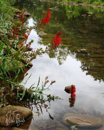 Creekside cardinal flowers.