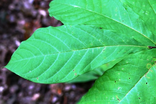 Notice the veins in the leaves, the texture of the leaf's skin, and how it hangs on the branch.