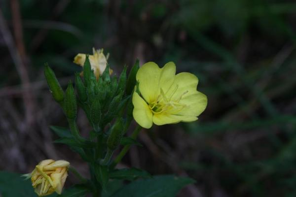 An evening primrose flower.