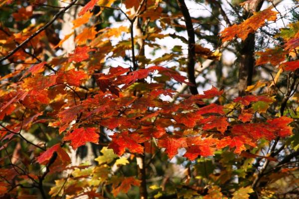 October color in the Ozarks can be quite spectacular. Here's one of the maple trees along the driveway.