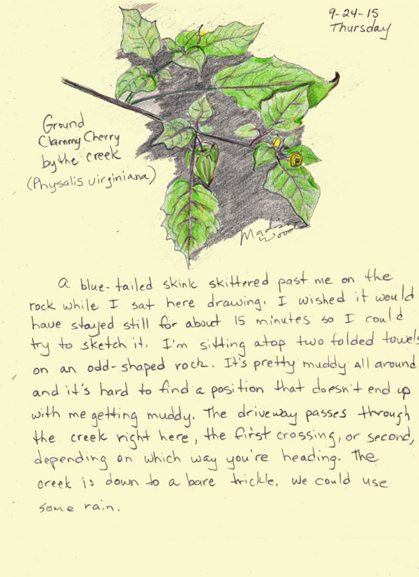 Ground cherry drawing from my nature journal.