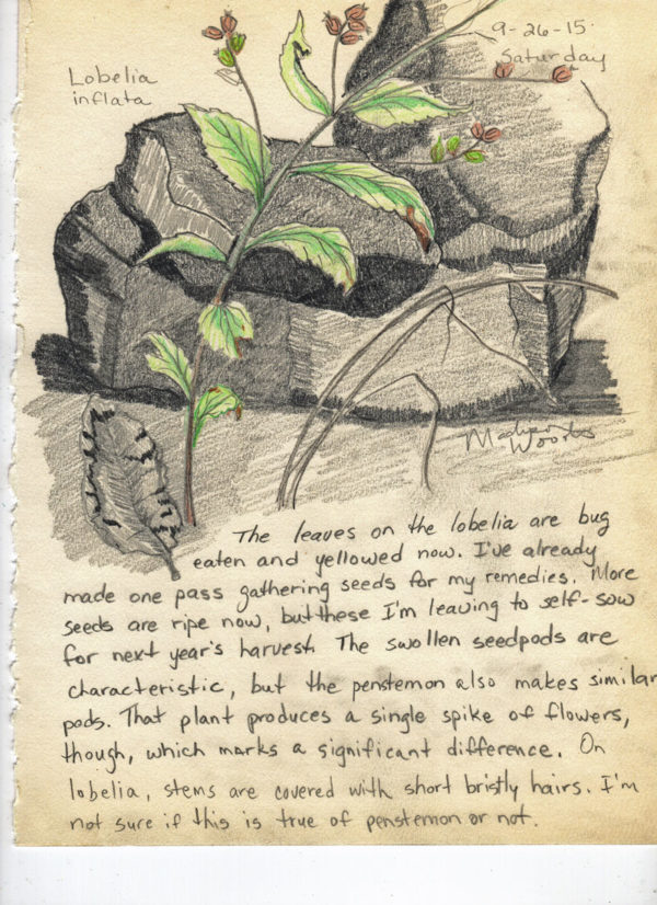 Nature Journal entry, Day 6 - Lobelia inflata