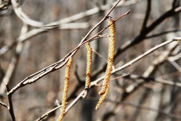 Male flowers of the American hazelnut (Corylus americana)