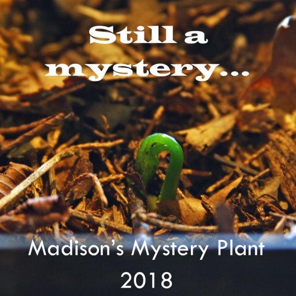Still watching my mystery plant unfurl.