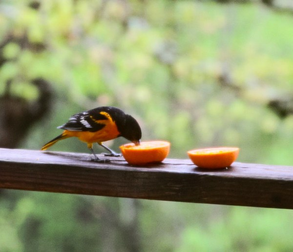 A Baltimore Oriole in the Ozarks