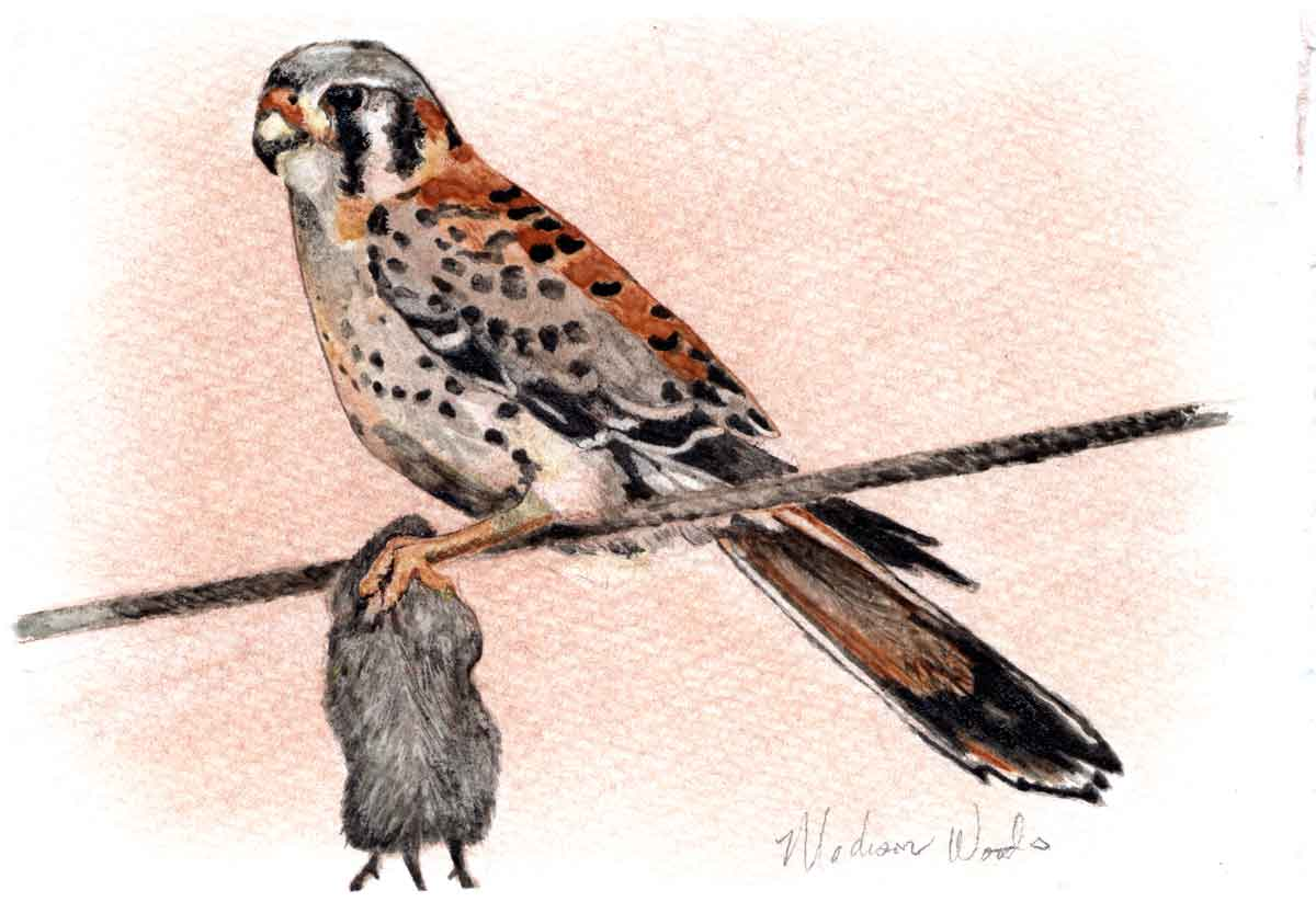 My second attempt at a kestrel, and the third attempt at making a watercolor painting using paints made from my hand-milled earth pigments.