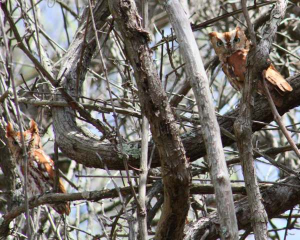 Two little screech owls hiding in a tangle of vines.