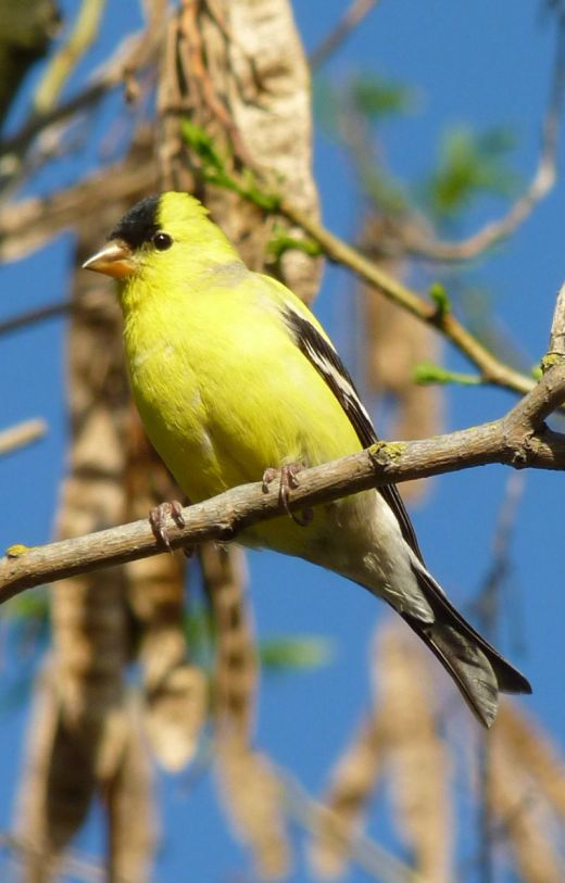 A male American goldfinch in spring plumage.