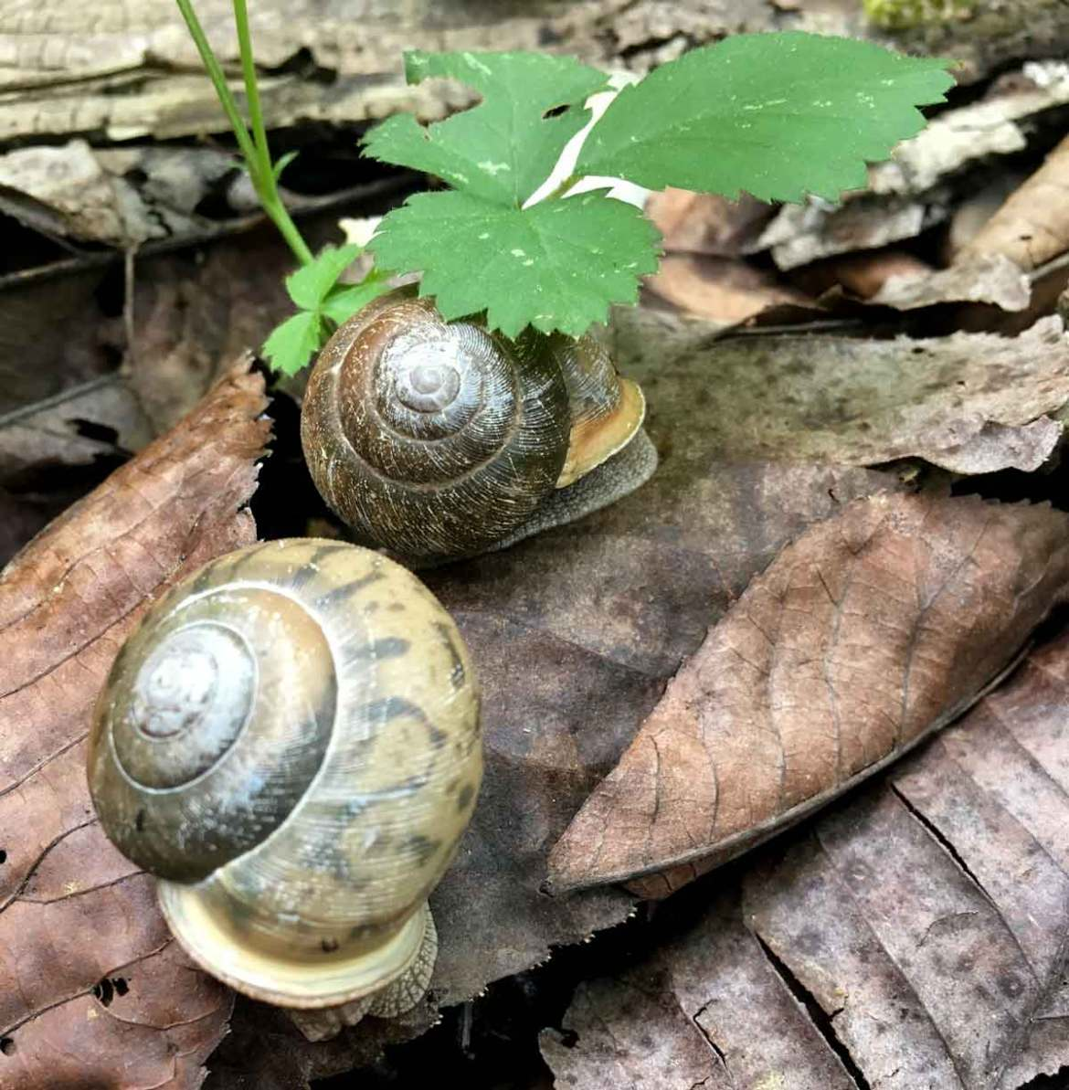 A pair of snails.