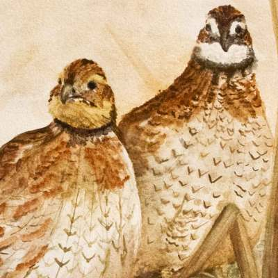Bobwhite quail for the shop listing icon.