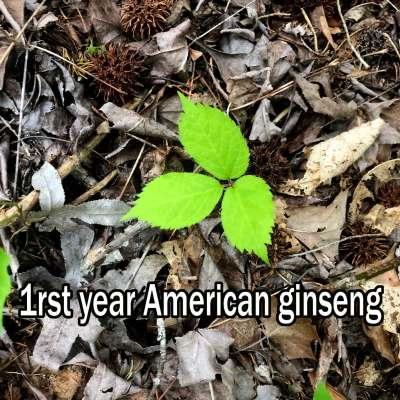 1rst year American ginseng seedling.