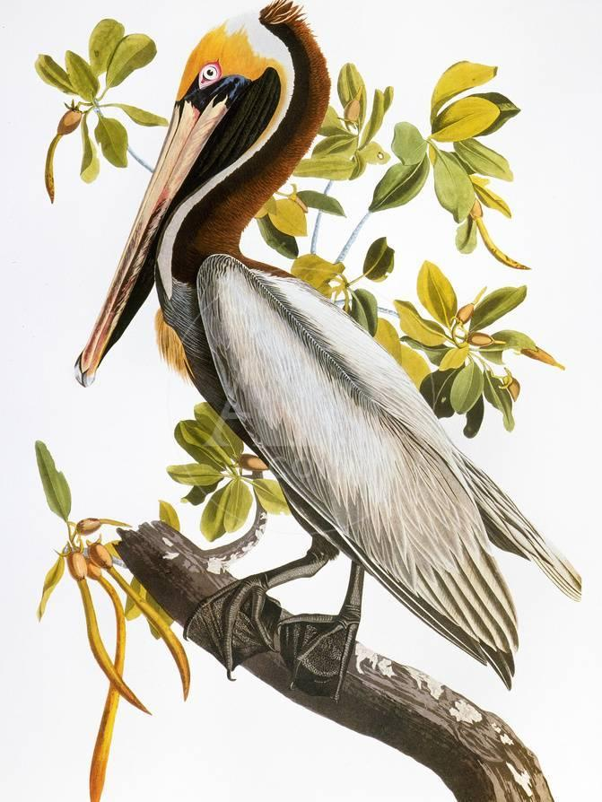 Brown pelican by John James Audubon.