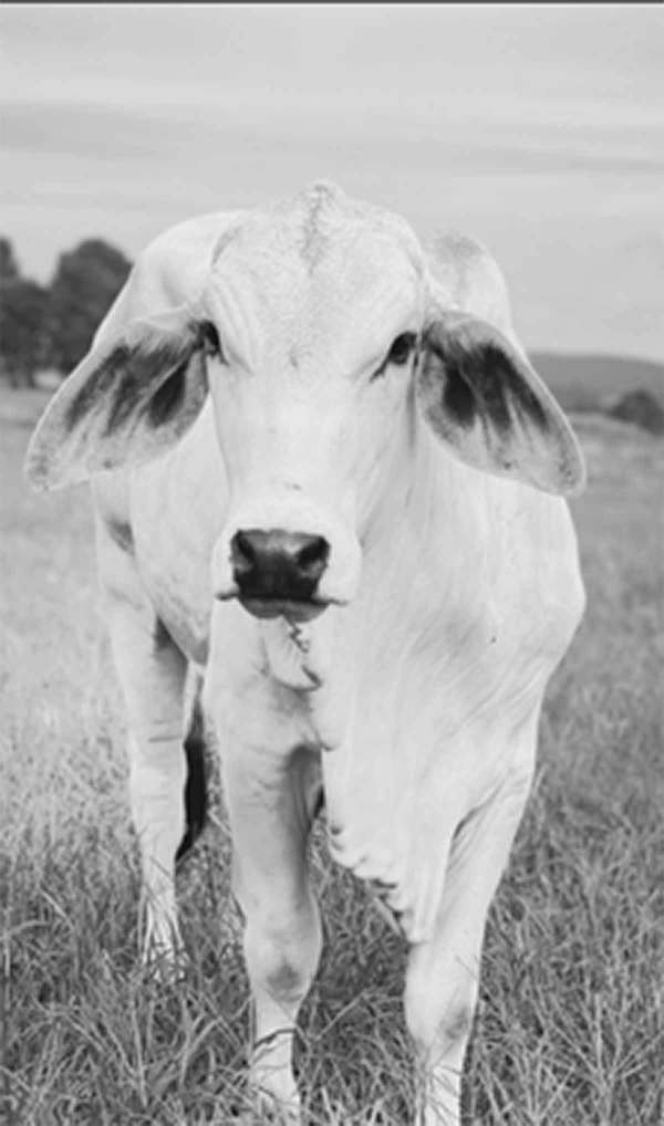 There's another brahman cow on my soon-to-paint list.