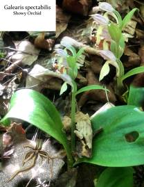 My reference photo for the showy orchid I'm painting.