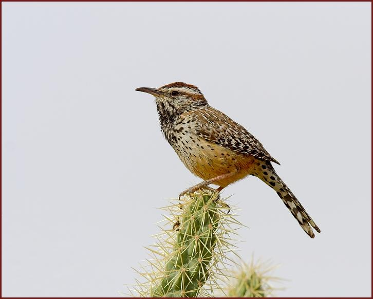 cactus wren step by step colouring pages