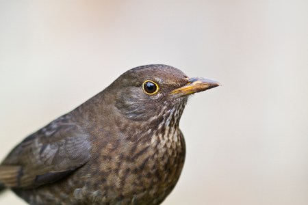 Blackbird | Sheffield & Rotherham Wildlife Trust