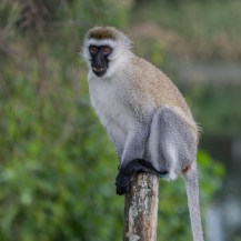 Hilgert's vervet monkey (Chlorocebus pygerythrus hilgerti), South Western Mau Forest Reserve