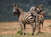Plains zebra, Lolldaiga Hills Ranch, Laikipia.