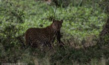 Leopard at Solio Lodge, Laikipia.