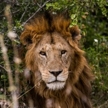 Lion at Solio Ranch, Laikipia.